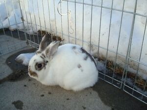 Rumbunctious Bunny for Rehoming Only
