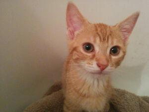 Peter Pan~Kitten for Adoption Kawartha Lakes Peterborough Area image 1