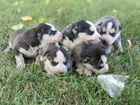 Siberian/ Inuit Husky Puppies. Sled Dogs