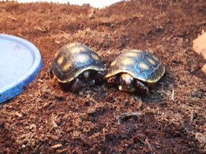 Baby Redfoot tortoises!