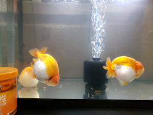 For sale all aquarium accessories and fishes (lion head/ ranchu)