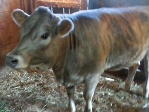 16 month old Simmental cross Heifer
