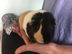 Guinea pig , cage and accessories