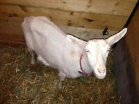 Young milking goat for sale