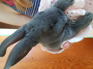 Purebred Mini Rex Junior Does  (pets)