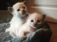 5 Ragamese kittens Siamese X Ragdoll