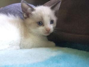 Male snowshoe kitten with beautiful blue eyes :) Peterborough Peterborough Area image 1