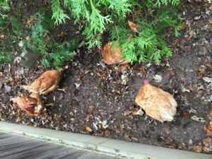 Four Laying Hens For Sale.  Great Brown Eggs.  $8 per Hen.