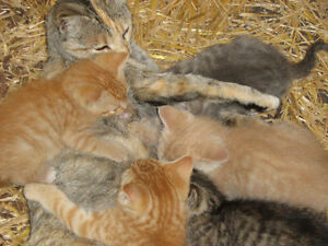 Kittens from a Polydactyl Mom