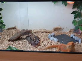 Unusual Orange male Bearded Dragon, vivarium and complete set up.