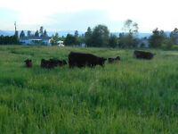 4 Dexter weanling heifers for sale
