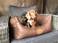 smooth haired dachshunds for sale