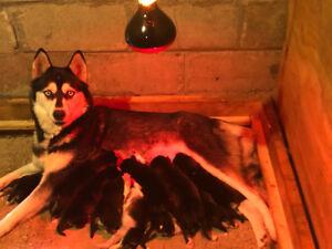 Beautiful purebred Siberian Husky Puppies!