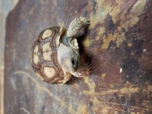 Beautiful sulcata tortoise baby!