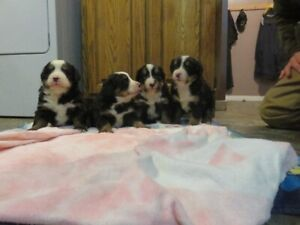 ADORABLE PUREBRED BERNESE MOUNTAIN PUPPIES