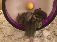Winter white Dwarf hamster babies (5left)