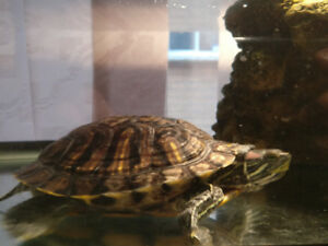 $60 for 2 four year old red eared sliders