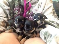 Gorgeous Purebred Smooth Coat Chihuahua Puppies