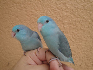 ❤♥☆♥ Parrotlets ♥ Babies with Cage and Food ♥☆♥❤ Cambridge Kitchener Area image 10