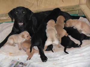 LABRADOR RETRIEVER PUPPIES FROM NATIONAL FIELD CHAMPION LINE