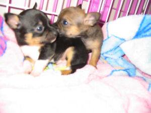 3 Chihuahua Puppies First Shots VET HEALTH EXAM + Record Deworm