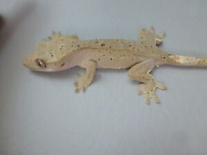 Dalmatian crested gecko (Red and Black spots!)