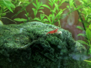 REDUCED !! PAINTED FIRE RED CHERRY SHRIMP