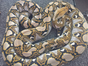 Male Super Dwarf Reticulated Python (het purple) for Sale.