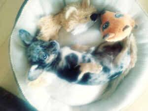 Rare Blue Merle. Toy Chihuahua