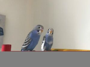 Baby Budgies for sale, 30.00 each