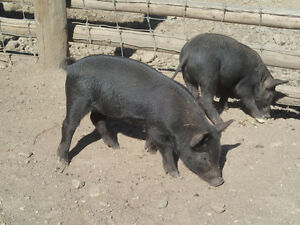 Critically endangered Mulefoot weaner pigs