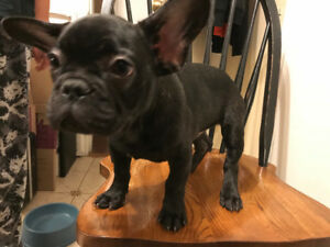 CUTE Black Male French Bulldog