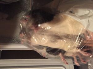 Rats congelés 200-250g