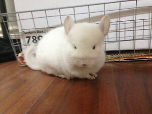 Super Friendly White Female Chinchilla for sale,