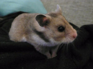 Syrian Male Hamster