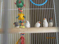 finches for sale