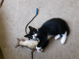 2 female kittens & 1 Male for sale