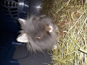Grey male lionhead bunny for sale