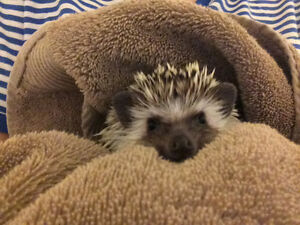 Hedgehogs Available