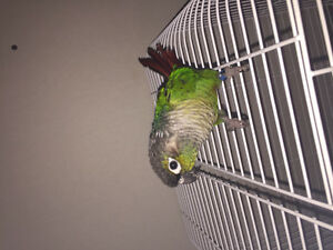 Selling Green Cheek Conure!!!