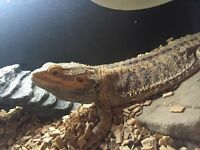 Bearded dragon free to good home