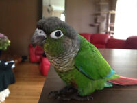 Green Cheek conure Baby with Cage and Food.