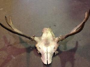 Moose antlers $75