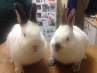 Bonny White rabbits
