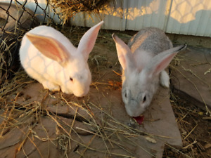 Flemish rabbits mix