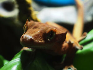 Red Flame Eyelash Crested Gecko