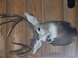 Taxidermy Mule Deer