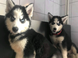 Husky | Dogs & Puppies for Sale - Gumtree