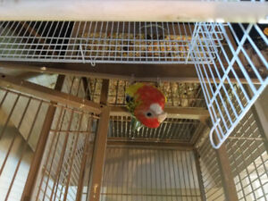 Baby rosella for sale
