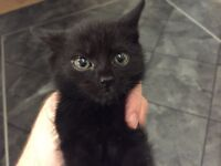 Little black kitten *super fun*super fluffy!*
